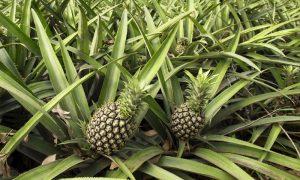 pineapples-queensland