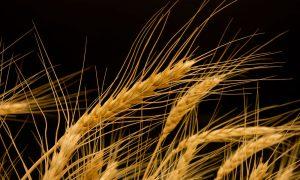 wheat-ears-2