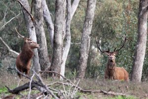 Two male red deer taken near Wellington's Curra Curra creek, taken by Peter Tremain in NSW