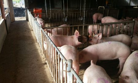 The Ridley Sow Enrichment Block was developed out of Pork CRC Program One research into how nutritional strategies could reduce aggression in group housed sows.