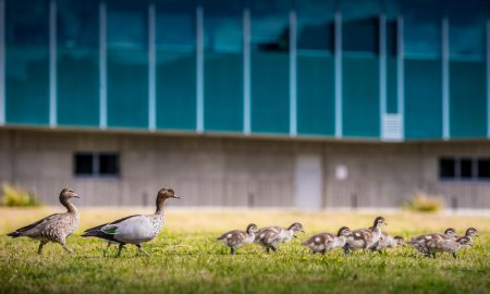 uow ducks
