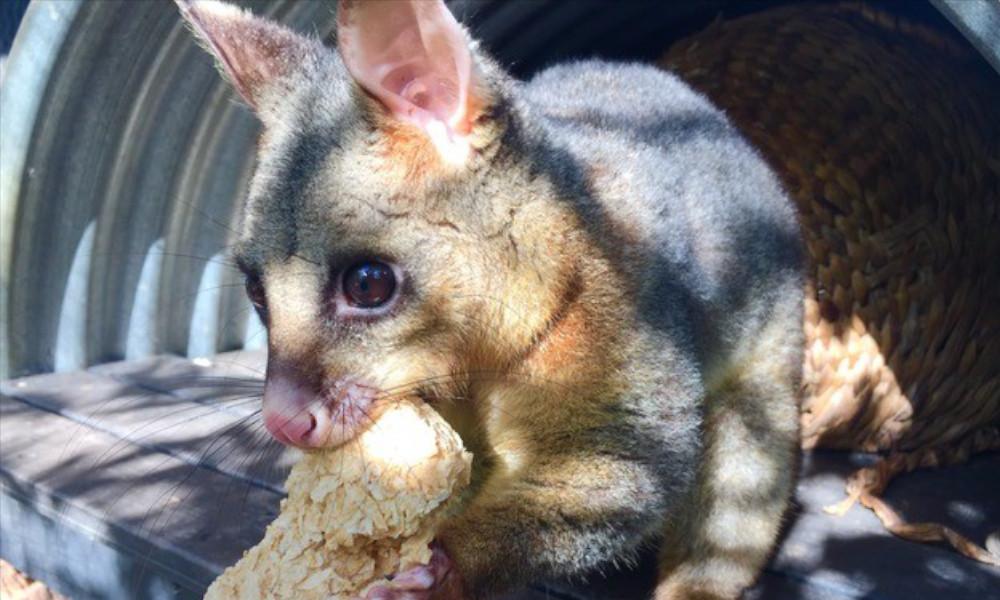 Potaroo Palace-possum